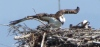 Alameda Point ospreys nesting