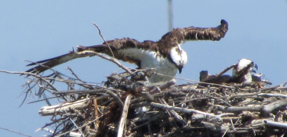 The Nesting Ospreys of Alameda Point – with video