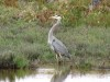Great Blue Heron at wetlands