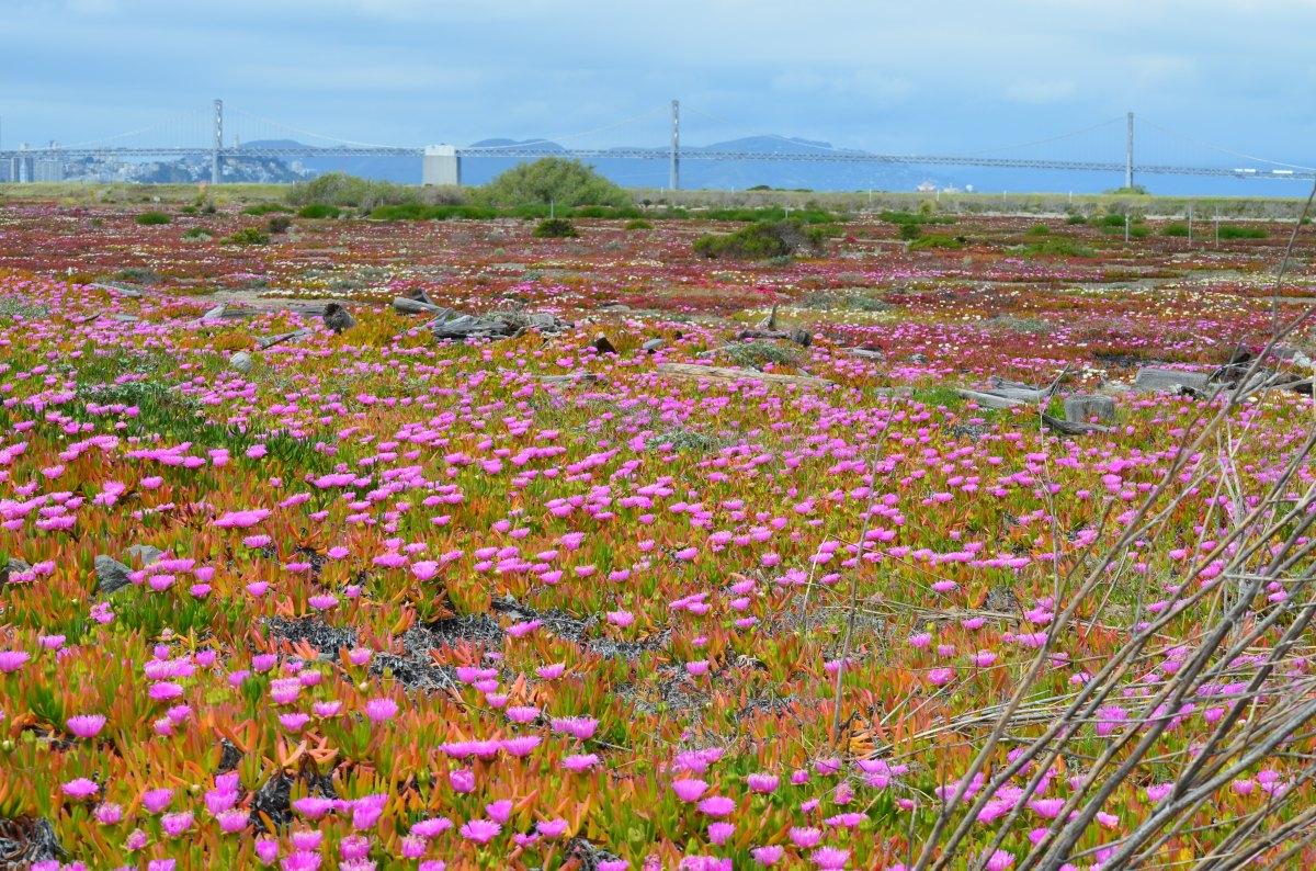 Springtime flower spectacle on Wildlife Refuge at Alameda Point – April2012