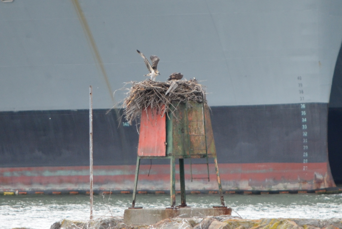 Young osprey at Alameda Point leaving soon