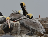 Pelicans on Breakwater Island