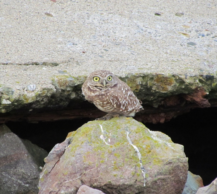 Burrowing Owl at shoreline embankment on Alameda Point wildlife refuge, Dec. 16, 2012.