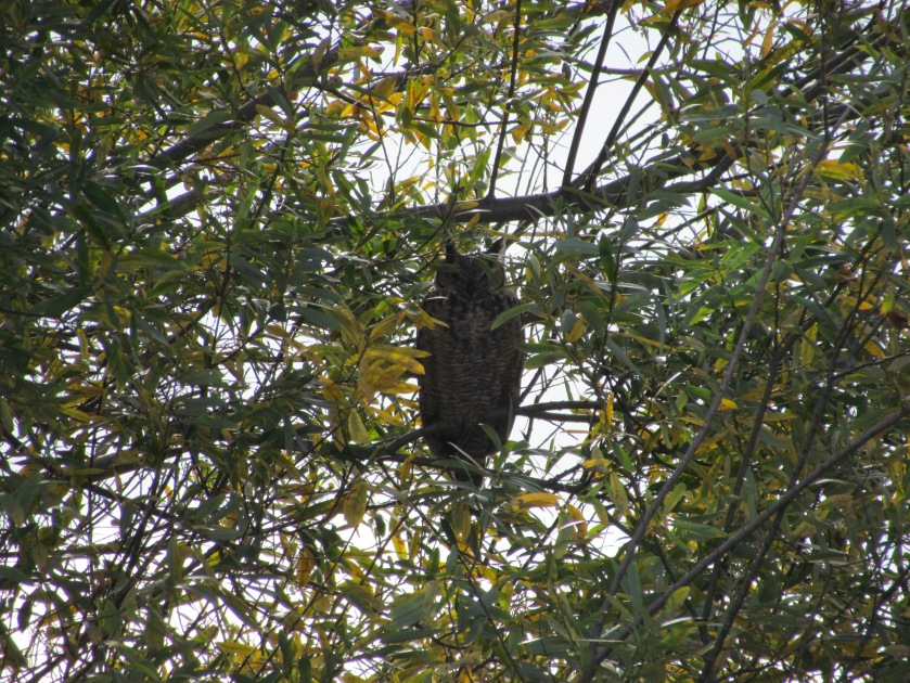 Great Horned Owl in willow tree on wildlife refuge at Alameda Point
