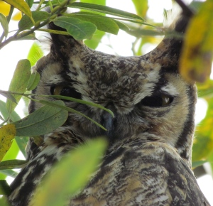 Great Horned Owl at Alameda Point wildlife refuge.