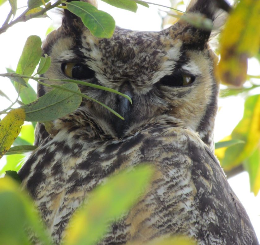 Great Horned Owl spotted during December 16, 2012 Audubon Christmas Bird Count.