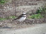 Killdeer on wildlife refuge