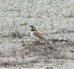 Horned lark on wildlife refuge