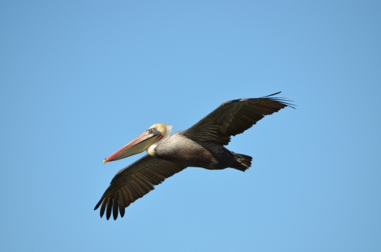 California brown pelican at Seaplane Lagoon, Alameda Point