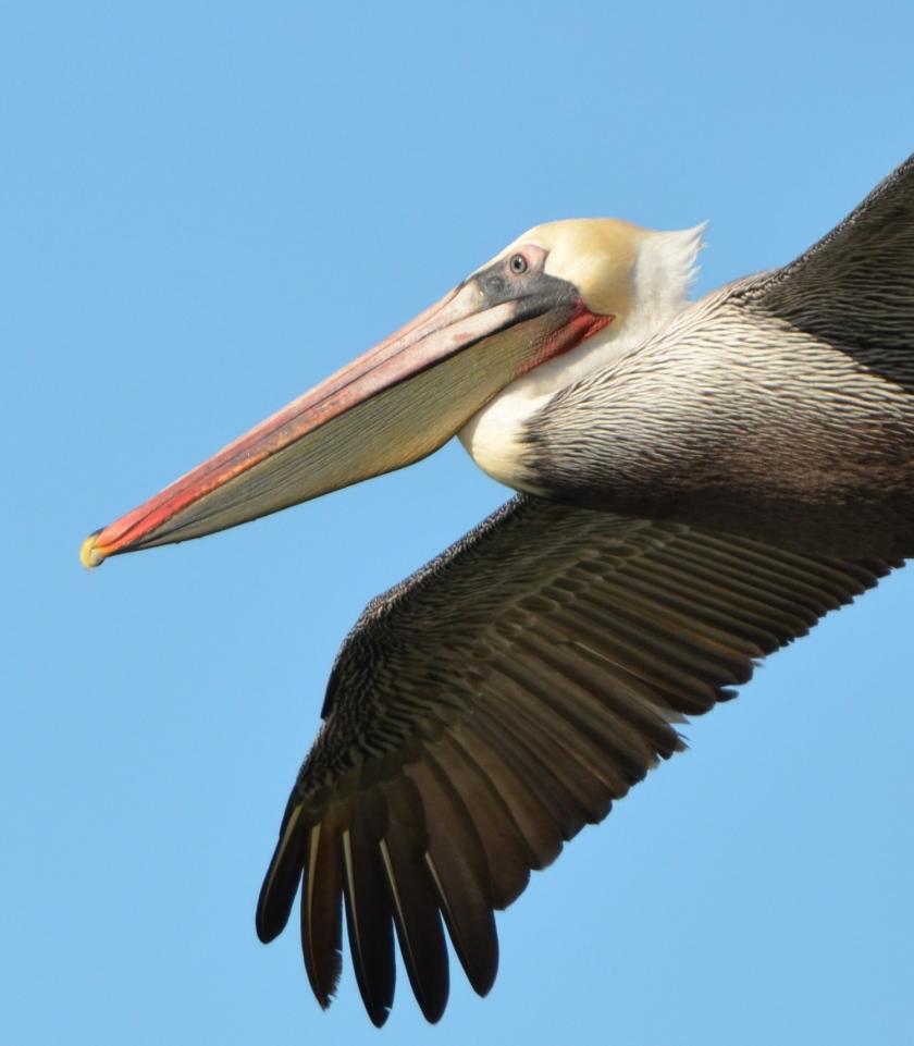 California brown pelican at Alameda Point's Seaplane Lagoon