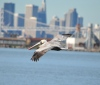 California brown pelican at Alameda Point's Seaplane Lagoon