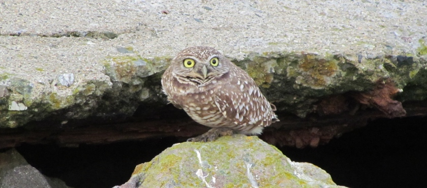 Burrowing owl on refuge.
