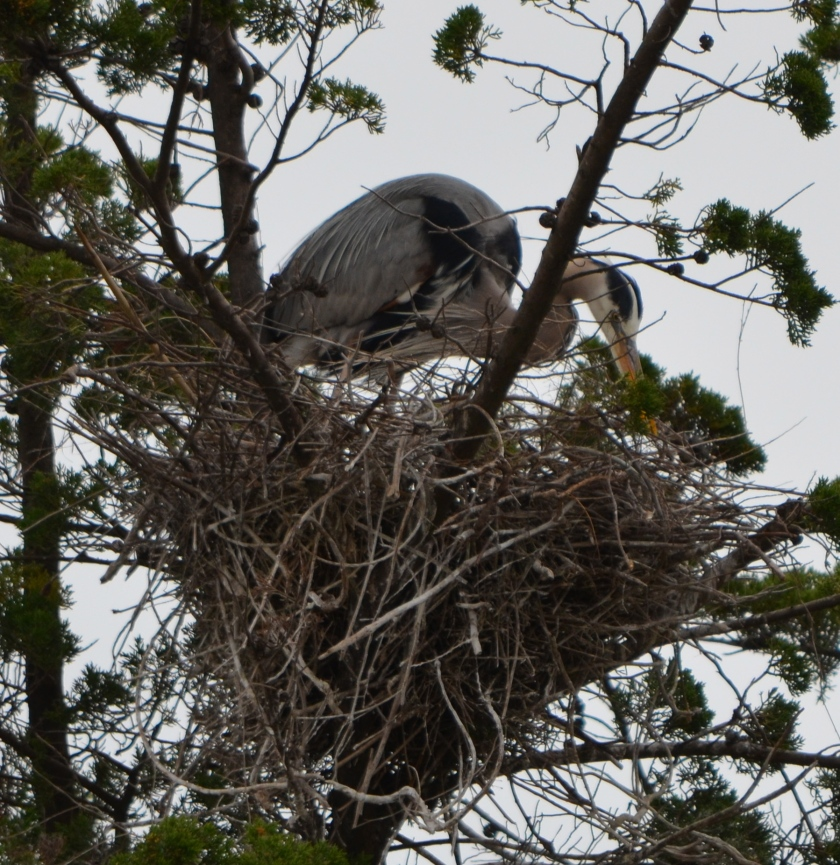 Great Blue Heron nesting in a cypress tree in the Runway Wetland.