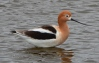 American Avocet on seasonal wetland at margin of VA columbarium/clinic site.