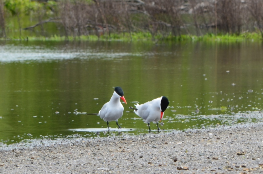 Caspian Terns next to seasonal wetland that will be impacted by VA project.