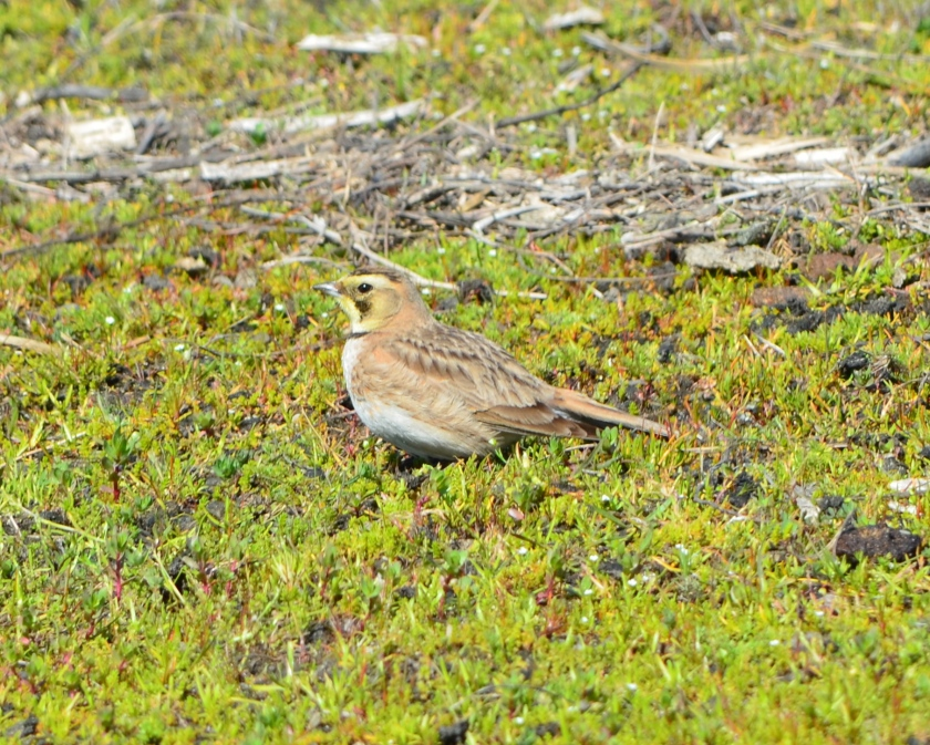 Horned Lark on foraging on grassland, with mate nearby.