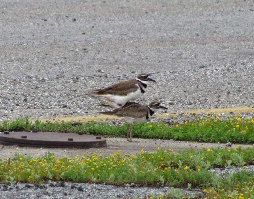 Killdeer mating next to least tern nesting site.  Killdeer often nest inside the least tern area.  Killdeer are attracted to the Nature Reserve in abundance.