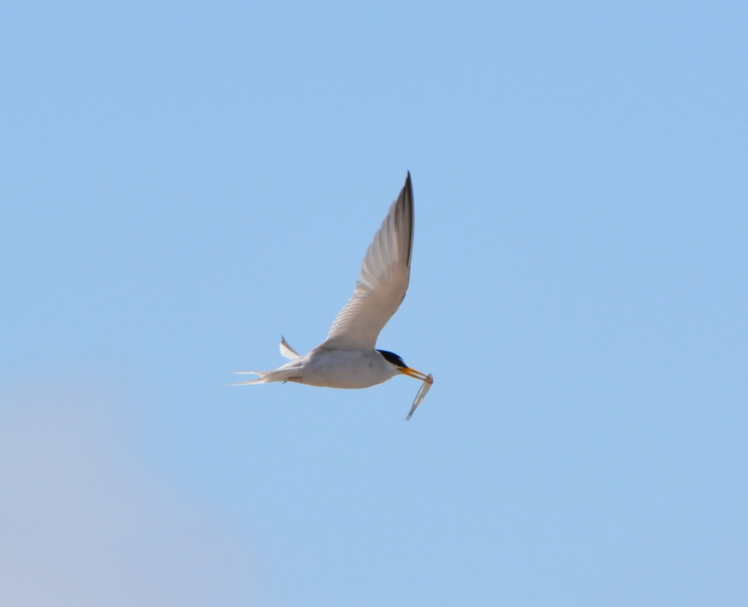 CA Least Tern with fish at Alameda Point
