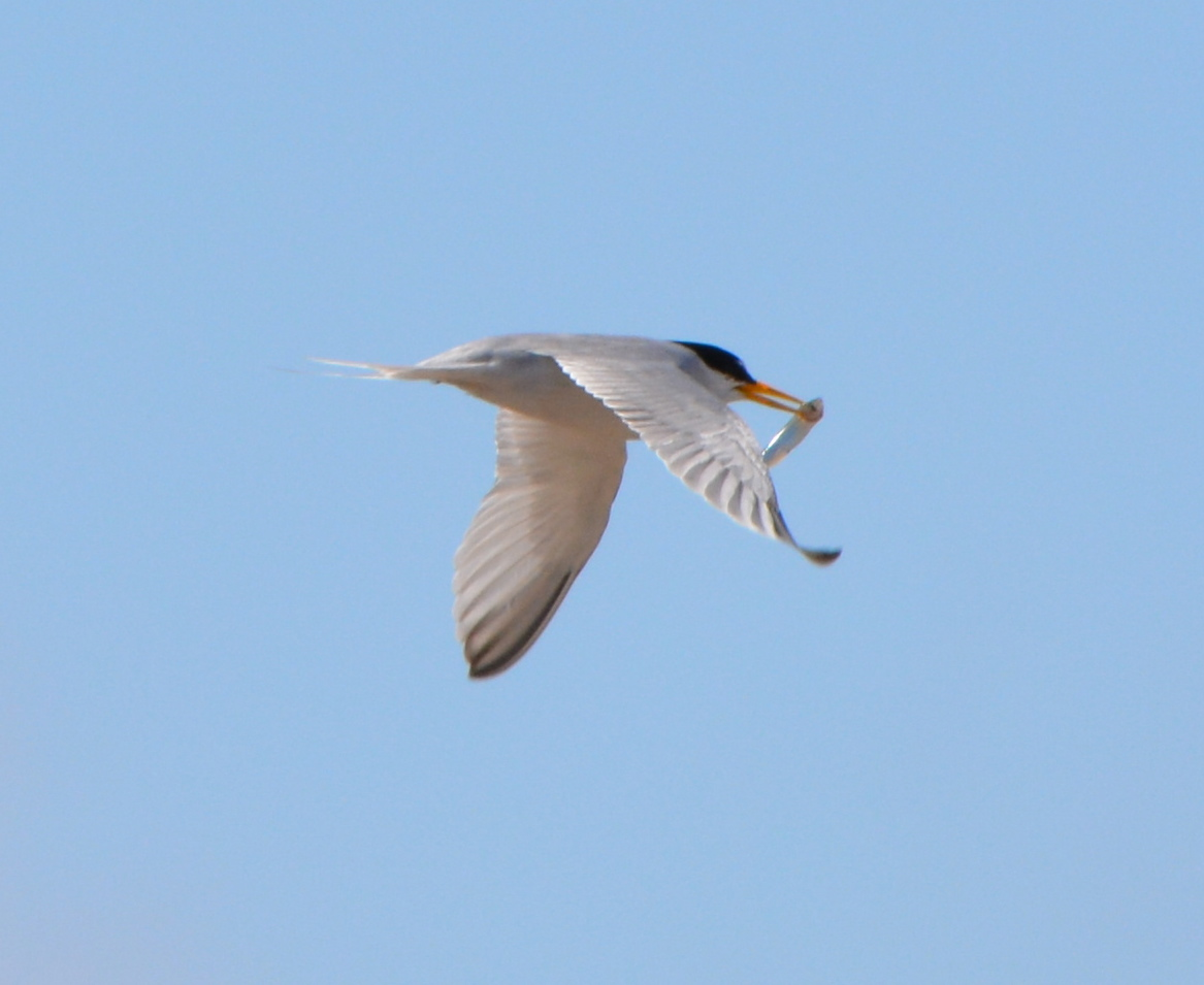 Least Terns thriving this year at Alameda Point
