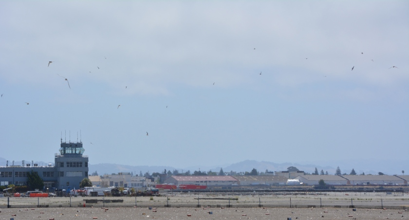 Least Tern colony at Alameda Point.  Control Tower in background.