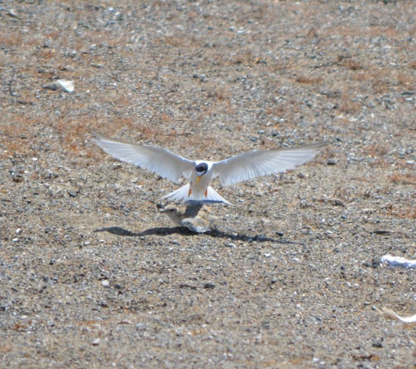 CA Least Tern with chick.  Alameda Point 2013.