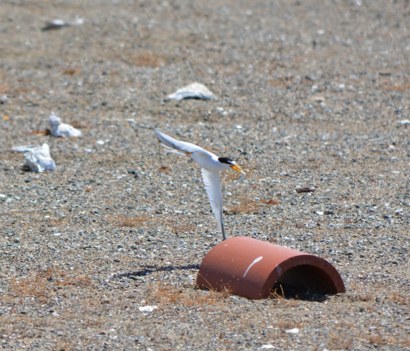 CA Least Tern bringing in fish at Alameda Point