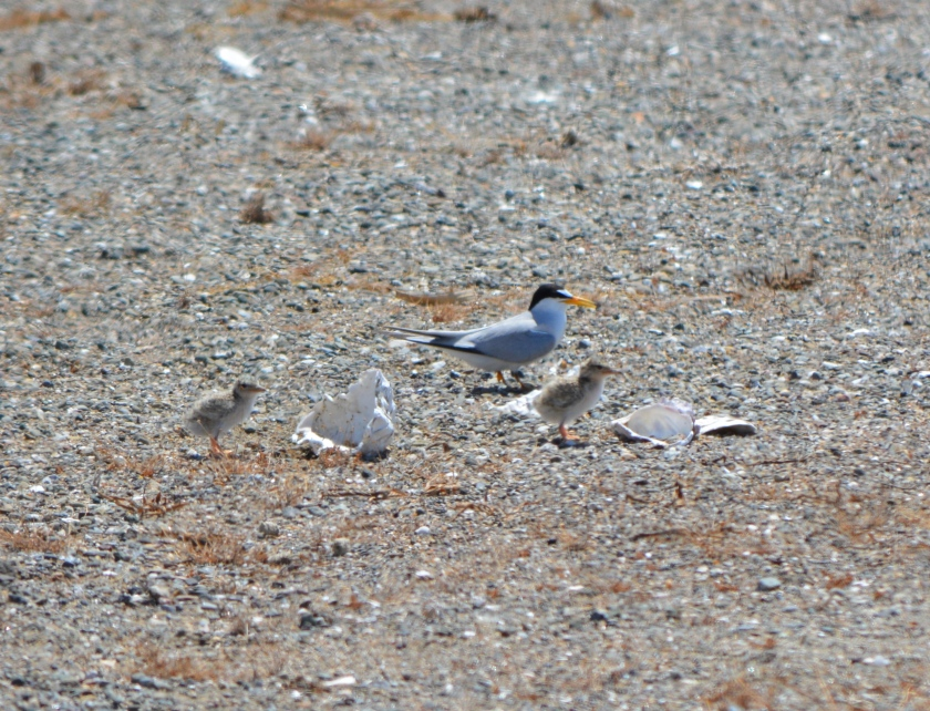 CA Least Tern adult with chicks at Alameda Point.