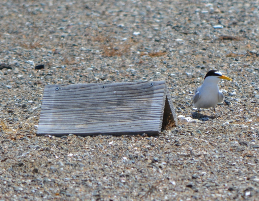 CA Least Tern next to shelter for chicks.