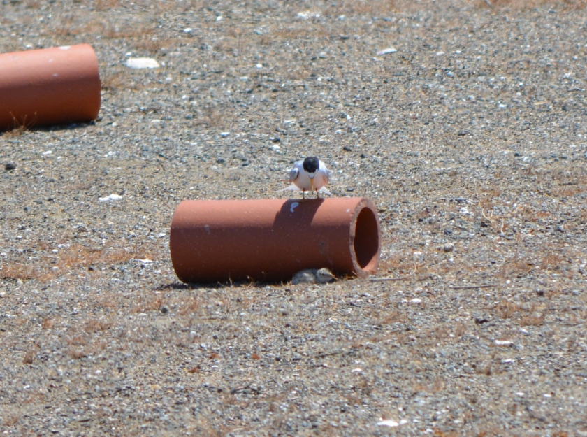 CA Least Tern w/chick at Alameda Point 2013