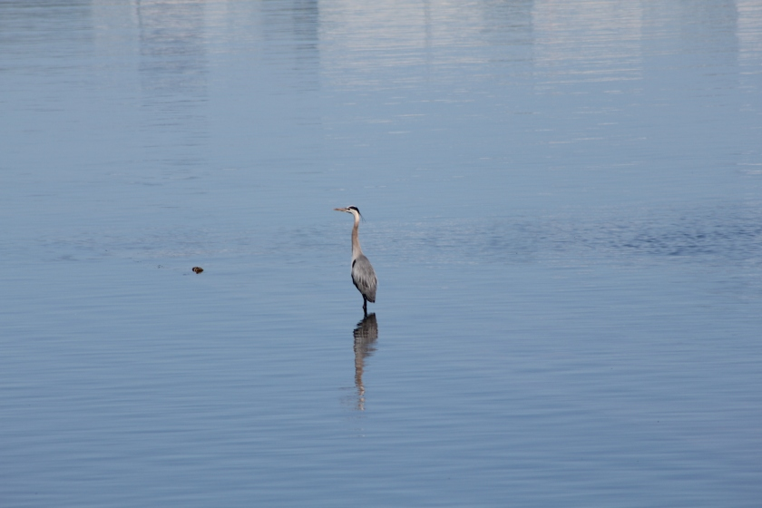 Great Blue Heron standing in shallow Seaplane Lagoon area where tidal marsh is proposed.