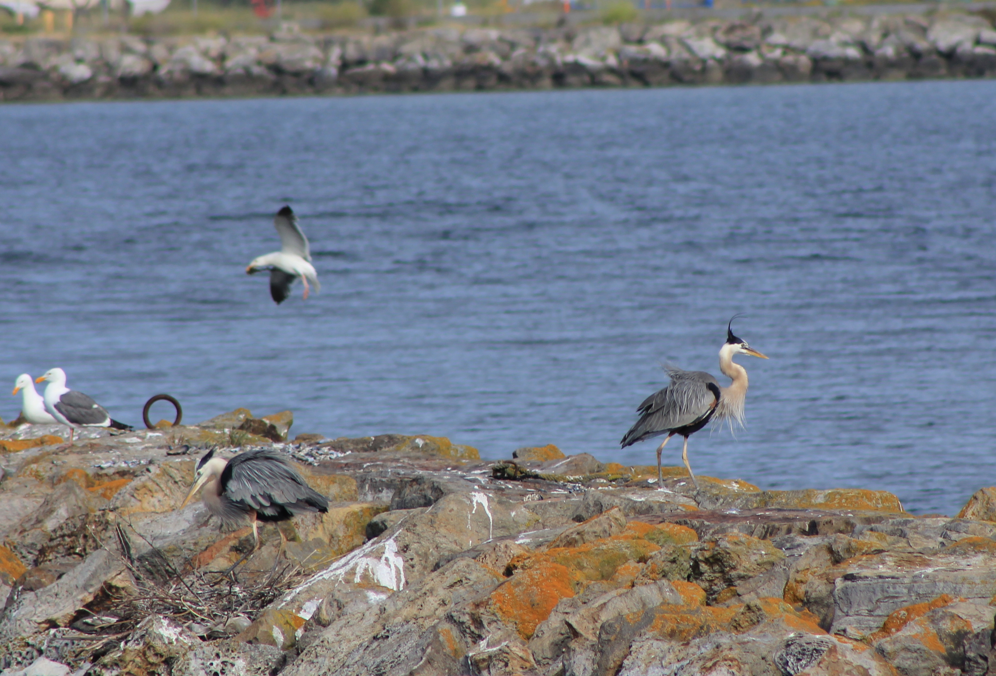 Eastern jetty of Seaplane Lagoon with Great Blue Herons with nest and landing gull.  Heron is directly above proposed tidal marsh featured on map above.  West shore of Seaplane Lagoon in background.