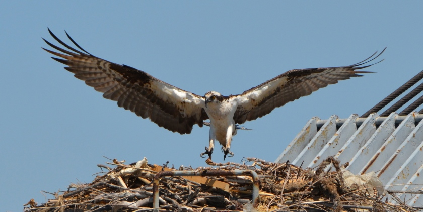 Osprey landing on the kingpost nest on the maritime ship Admiral Callaghan docked at Alameda Point - May 2013.
