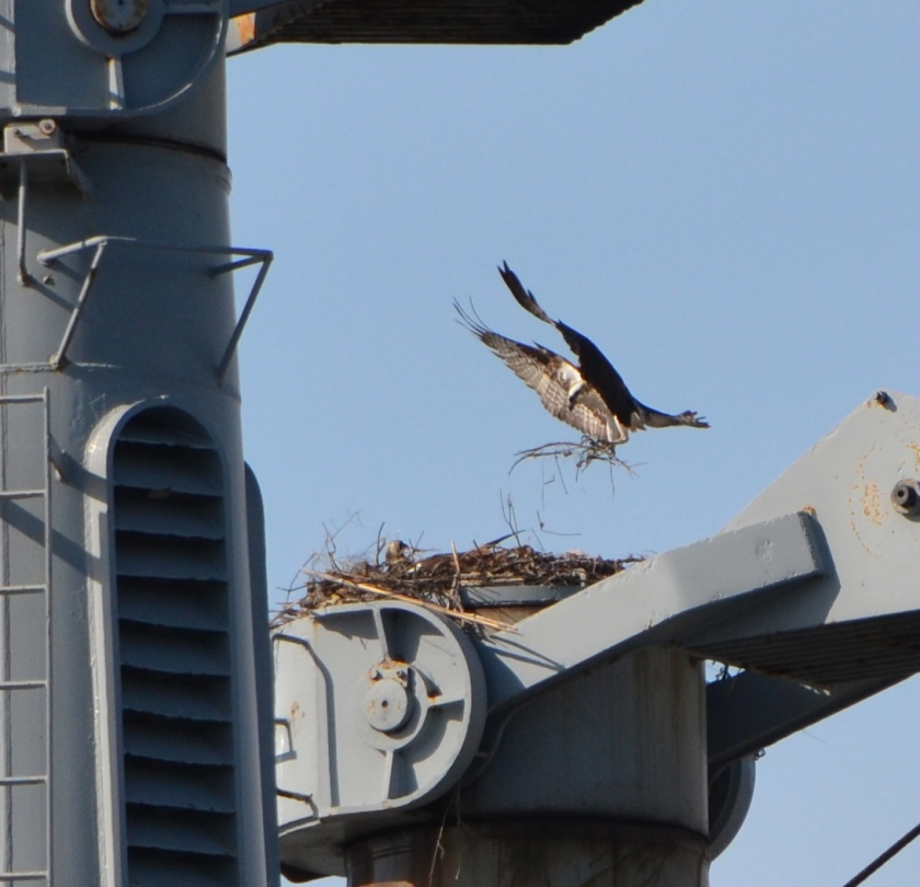 Osprey bringing in nest material for the Callaghan kingpost nest - 2013.