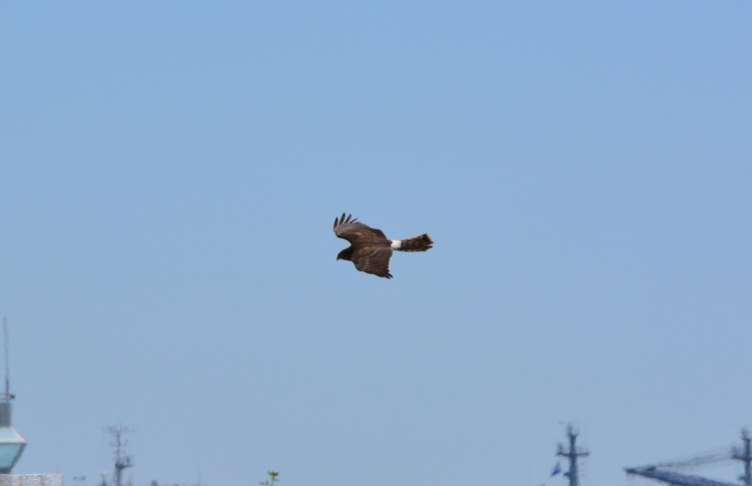 Northern Harrier #1 Alameda Point