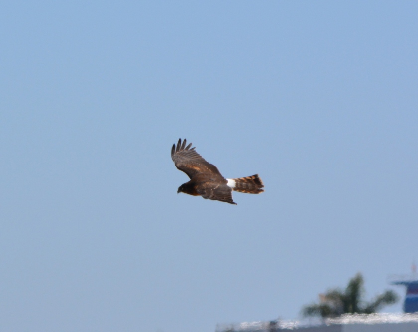 Northern Harrier #2 Alameda Point
