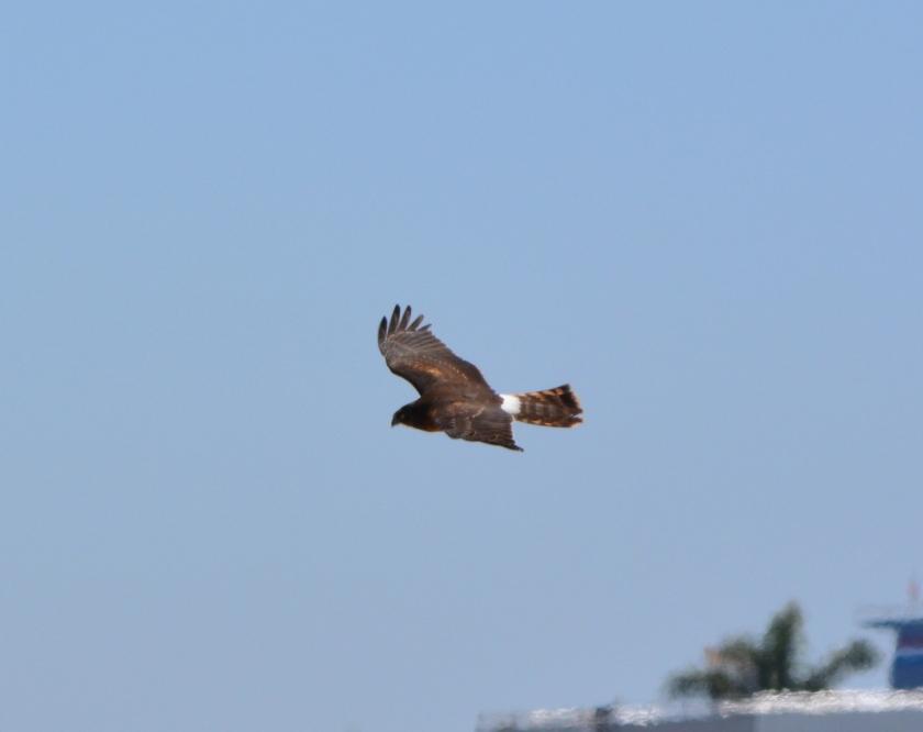 Northern Harrier #2 Alameda Point