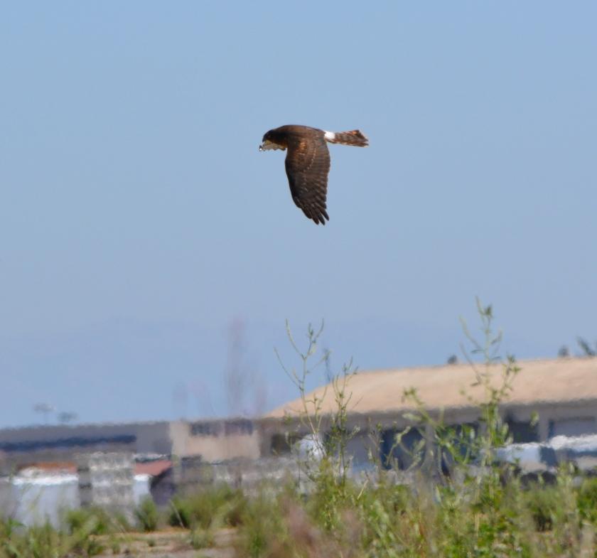 Northern Harrier #3 Alameda Point