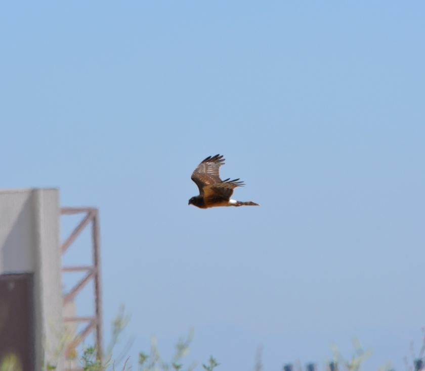 Northern Harrier #4 Alameda Point