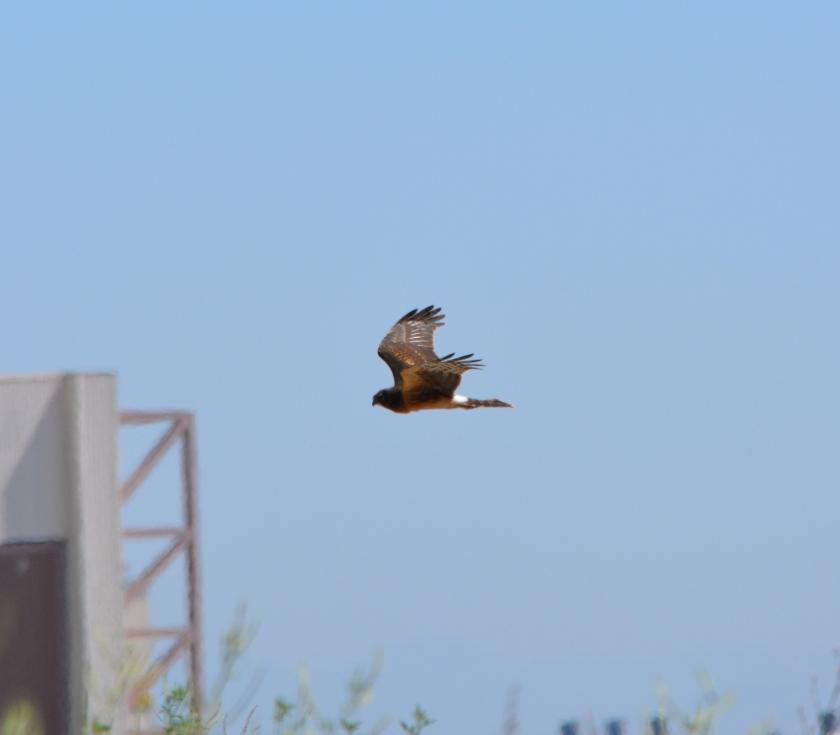 Northern Harrier #4 Alameda Point