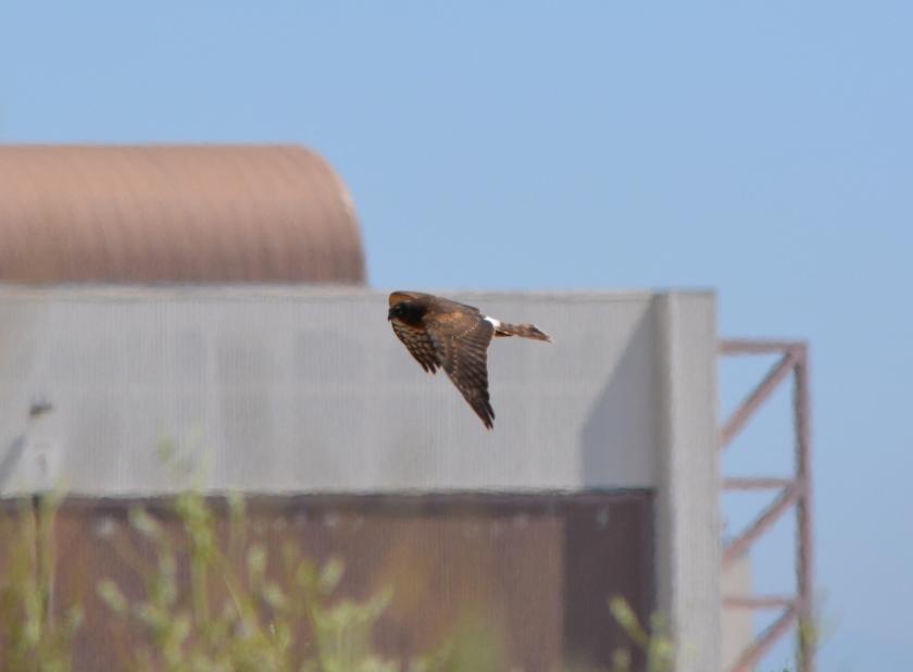 Northern Harrier #5 Alameda Point