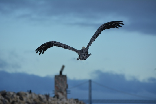 Brown pelican flying toward Breakwater Island, Alameda