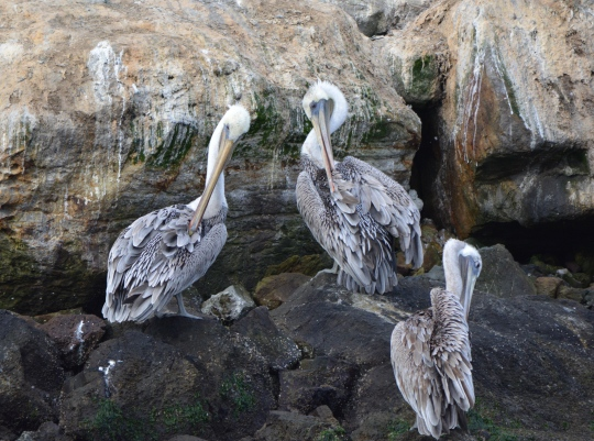 Brown pelicans of Breakwater Island, Alameda