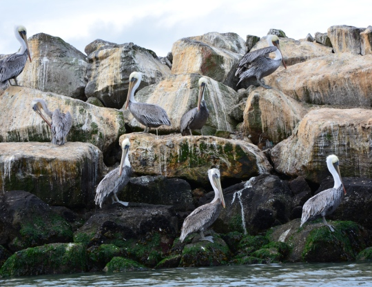 Brown pelicans on Breakwater Island, Alameda