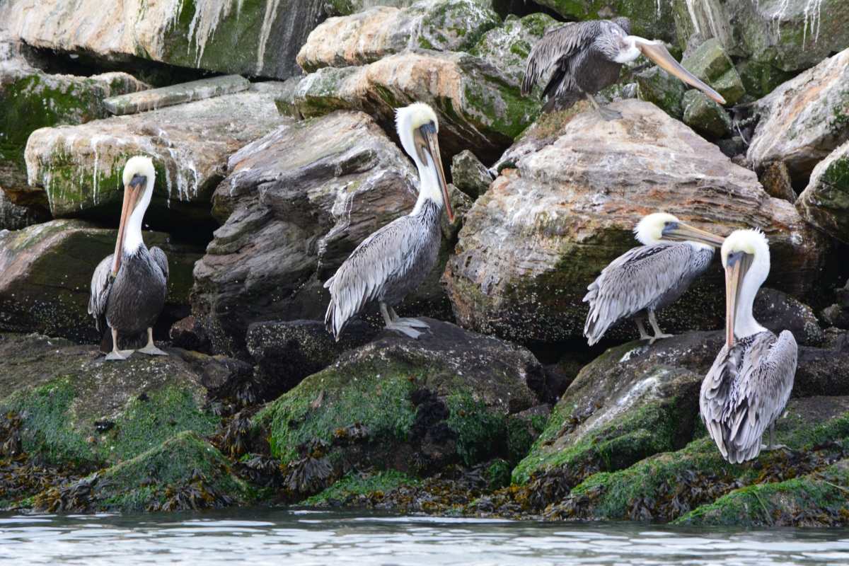 Brown pelicans of Alameda's Breakwater Island – September 2013
