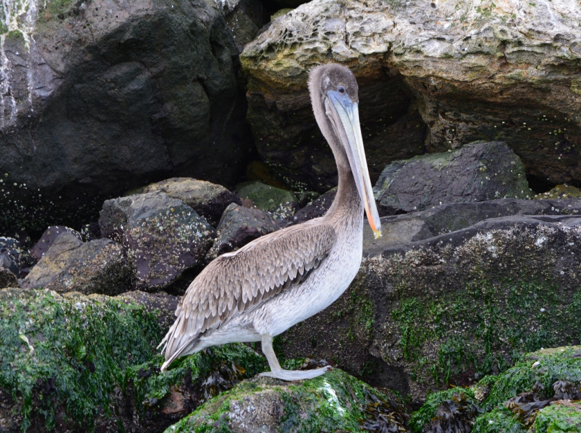 Young brown pelican on Breakwater Island, Alameda