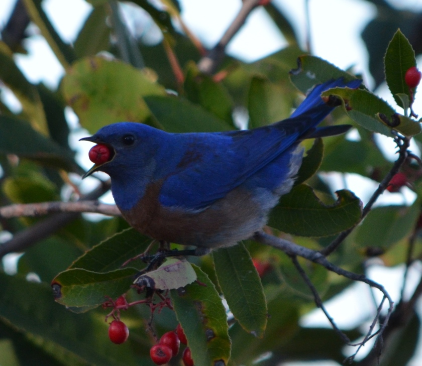 Western Bluebird on pyracantha bush