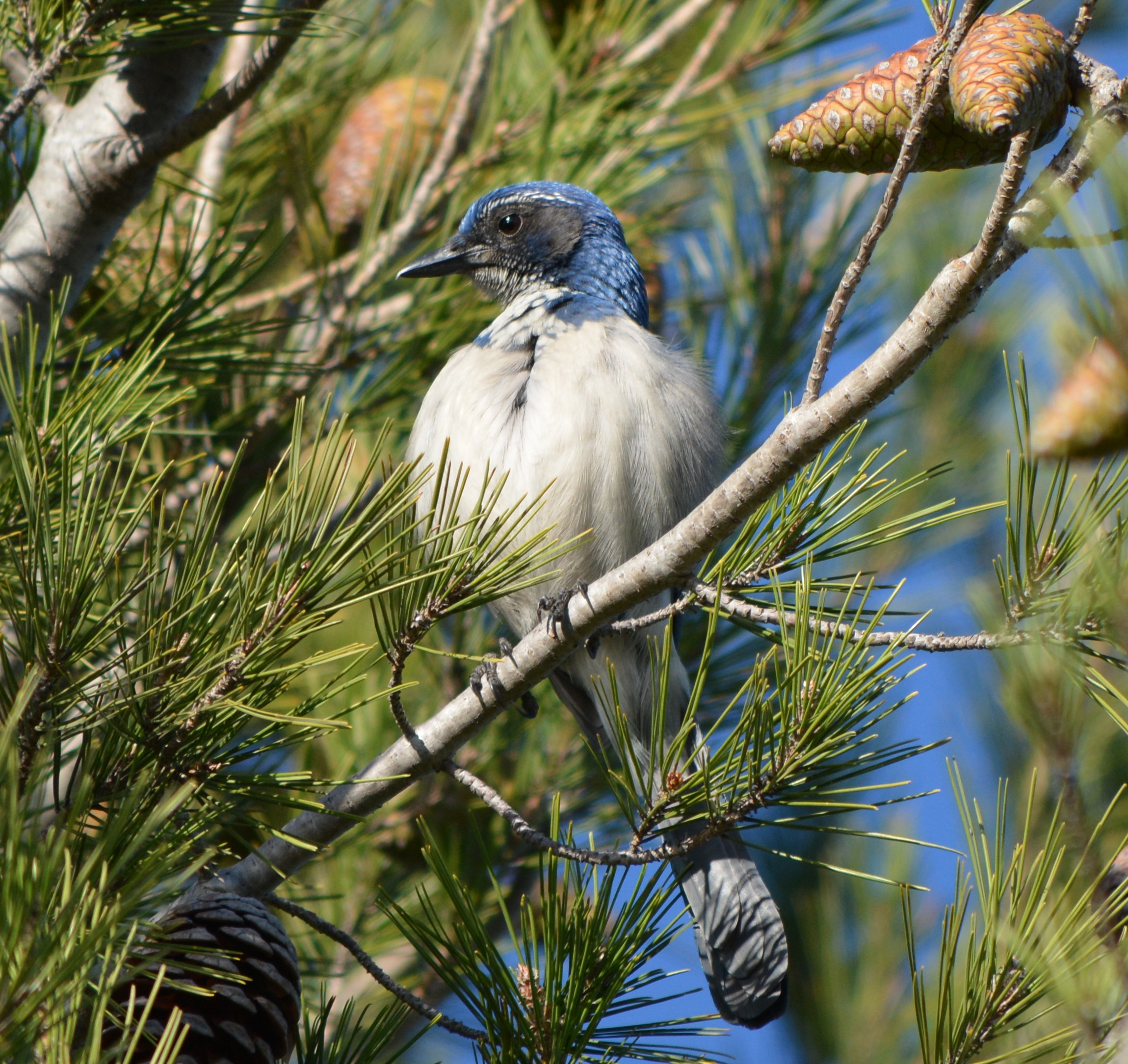 scrub jay bird house plans