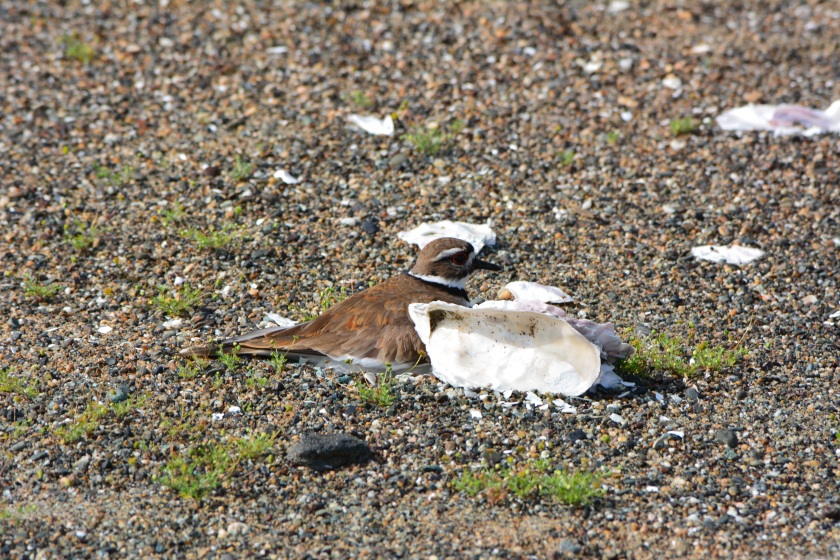 Killdeer sitting on four eggs in the least tern nesting area on April 13, 2014.  It is not uncommon for a few killdeer to nest among the terns.  Killdeer lay their eggs about a month before the terns lay eggs.