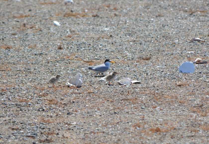 Adult least tern with chicks next to oyster shells at Alameda Point, June 15, 2013, during the Return of the Terns tour.  Plaster marker with number on reverse side is to the right.