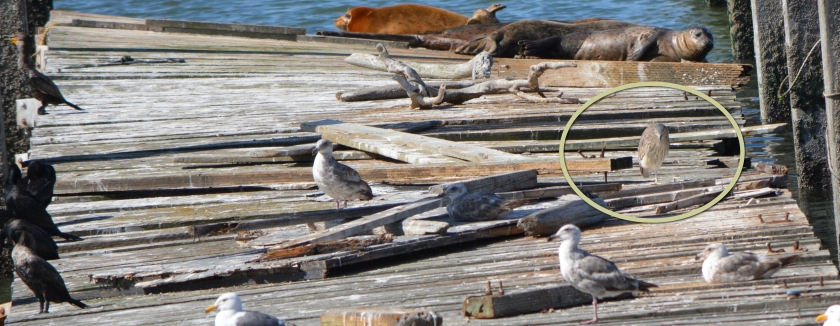 Black-crowned Nigh Heron juvenile hanging out on dock with other wildlife.